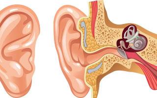 Какое строение у человеческого уха?